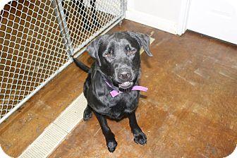 Labrador Retriever Mix Dog for adoption in Dunkirk, New York - Gideon