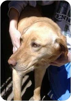 Golden Retriever Mix Dog for adoption in Huntingdon, Pennsylvania - Sheba