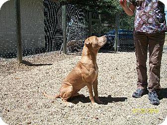 American Pit Bull Terrier Dog for adoption in Covelo, California - Kristoffersen