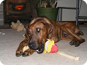 Great Dane/Doberman Pinscher Mix Dog for adoption in Baden, Pennsylvania - Buddy