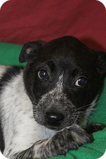 Labrador Retriever Mix Puppy for adoption in Waldorf, Maryland - Orion