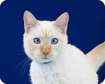 Siamese Cat for adoption in Riverside, California - Rudolph