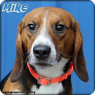 Beagle Dog for adoption in South Plainfield, New Jersey - Mike Brady