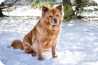 Chow Chow Dog for adoption in Dublin, Ohio - Panda