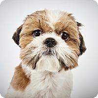 Adopt A Pet :: Nelson - New York, NY