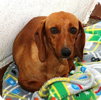 Dachshund Dog for adoption in McDonough, Georgia - Neena