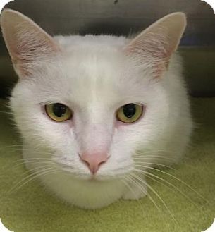 Domestic Shorthair Cat for adoption in Parma, Ohio - Maddy