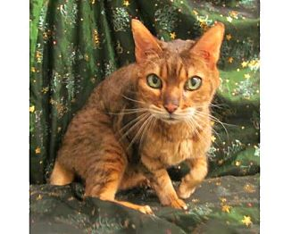 Bengal Cat for adoption in Waldorf, Maryland - Chi Chi
