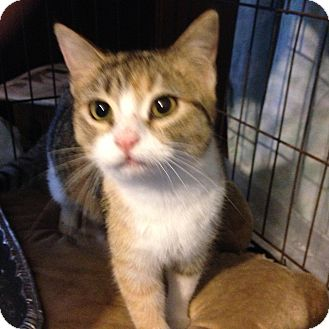 Calico Cat for adoption in Beeville, Texas - Penelope