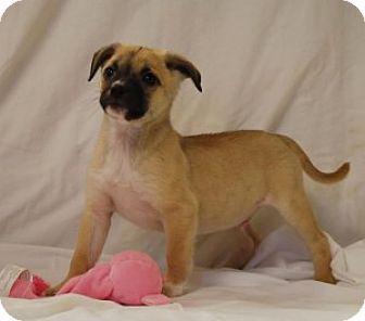 Beagle/Pug Mix Puppy for adoption in Chalfont, Pennsylvania - Marco