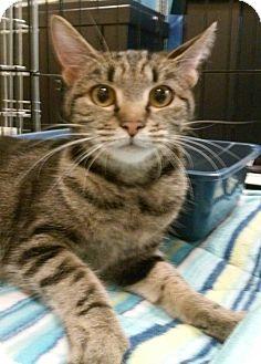 "Domestic Shorthair Cat for adoption in Yorba Linda, California - Chipmunk ""Chip"""