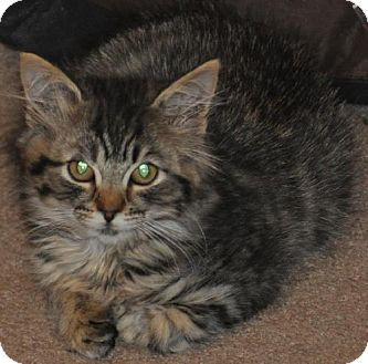 Maine Coon Kitten for adoption in Buford, Georgia - Scooter