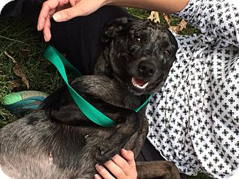 Catahoula Leopard Dog Mix Dog for adoption in Minneapolis, Minnesota - Olivia