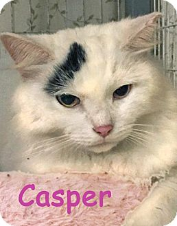 Domestic Longhair Cat for adoption in Flint HIll, Virginia - Casper