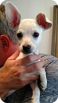 Chihuahua/Dachshund Mix Puppy for adoption in Marietta, Georgia - Sasha