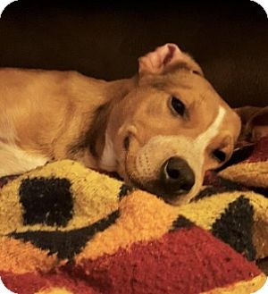 Pit Bull Terrier Mix Puppy for adoption in West Allis, Wisconsin - Ace