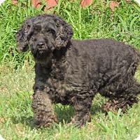 Adopt A Pet :: Kimmy - Joplin, MO