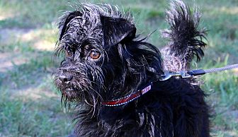 Yorkie, Yorkshire Terrier/Cairn Terrier Mix Dog for adoption in Southbury, Connecticut - McGruff ~ meet me!