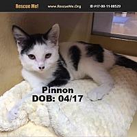 Adopt A Pet :: Pinnon - Chandler, AZ