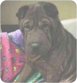 Shar Pei Dog for adoption in Houston, Texas - Sweetie