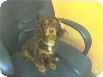 Spaniel (Unknown Type) Mix Dog for adoption in Sugar Land, Texas - Lollie