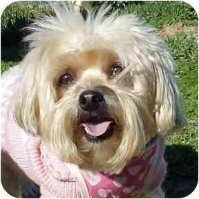 Bichon Frise Mix Dog for adoption in San Clemente, California - SADIE