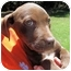 Photo 1 - Labrador Retriever Mix Puppy for adoption in Mahwah, New Jersey - Cinnamon