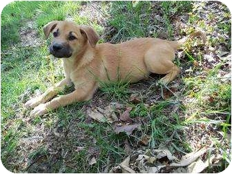 Shepherd (Unknown Type) Mix Puppy for adoption in Londonderry, New Hampshire - Livingston