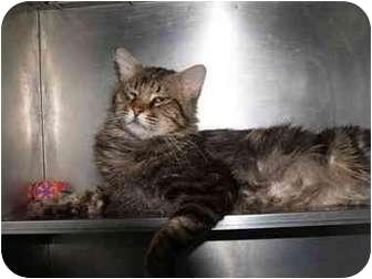 Domestic Mediumhair Cat for adoption in El Cajon, California - Monty