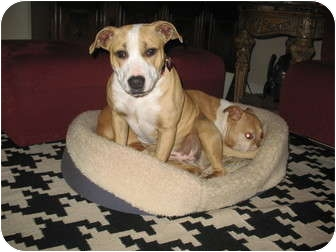 Bull Terrier Mix Dog for adoption in Lombard, Illinois - Fiona