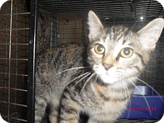 Domestic Shorthair Cat for adoption in Granbury, Texas - Jessica