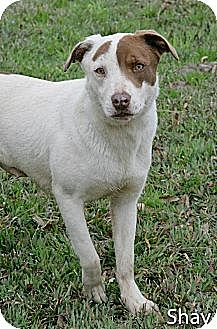 Terrier (Unknown Type, Medium)/Labrador Retriever Mix Dog for adoption in Jackson, Mississippi - Shay
