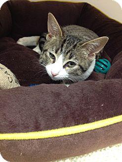 Domestic Shorthair Kitten for adoption in Dallas, Texas - Zena