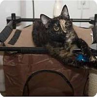 Adopt A Pet :: Yoko - New Port Richey, FL