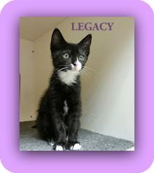 Domestic Shorthair Kitten for adoption in Trevose, Pennsylvania - Legacy