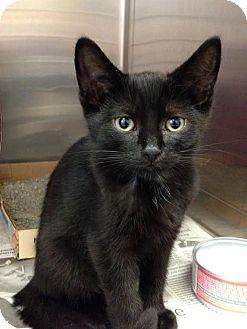Domestic Shorthair Kitten for adoption in East Brunswick, New Jersey - Casey