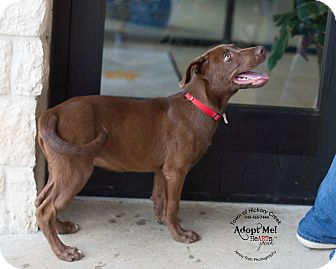 Labrador Retriever/Pit Bull Terrier Mix Puppy for adoption in Hickory Creek, Texas - Theodore