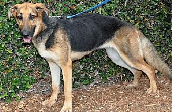 German Shepherd Dog Dog for adoption in Newport Beach, California - Ella