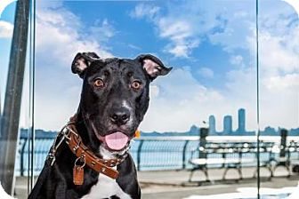 Pit Bull Terrier Mix Dog for adoption in Ridgewood, New Jersey - MACI