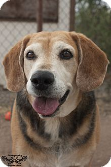 Beagle Mix Dog for adoption in Huachuca City, Arizona - Amiga