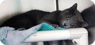 Russian Blue Cat for adoption in THORNHILL, Ontario - Sangria