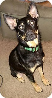 German Shepherd Dog Puppy for adoption in Peoria, Illinois - Hans