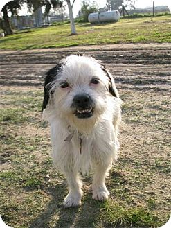 Wirehaired Fox Terrier/Terrier (Unknown Type, Medium) Mix Dog for adoption in Bakersfield, California - Smiley