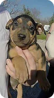 German Shepherd Dog Mix Puppy for adoption in Von Ormy, Texas - Bean