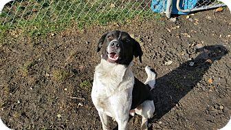 German Shorthaired Pointer Mix Dog for adoption in Indianola, Iowa - Kado