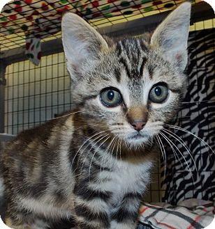 Domestic Shorthair Kitten for adoption in Grants Pass, Oregon - Eloy