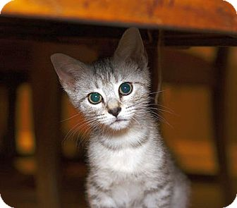 Domestic Shorthair Kitten for adoption in Chattanooga, Tennessee - Lucky