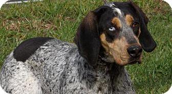 Bluetick Coonhound Dog for adoption in Batavia, Ohio - Dixie