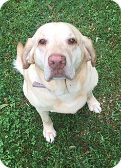 Labrador Retriever Dog for adoption in Deer Park, New York - Carol-Ann