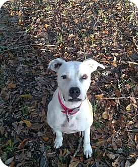 Pit Bull Terrier Mix Dog for adoption in Charlotte, North Carolina - Daisy - Courtesy Listing